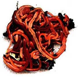 The redworm can consume 50% of its own body volume every 24 hours